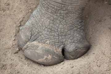 Foto op Aluminium Neushoorn Southern white rhinoceros (Ceratotherium simum simum).