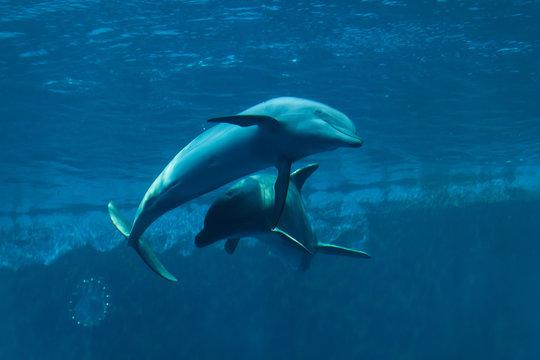 Common bottlenose dolphins (Tursiops truncatus).