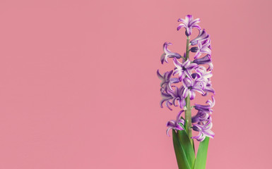 Hyacinth, spring flower on pink background with copy space for message. Greeting card for Valentine's Day, Woman's Day and Mother's Day holidays. Toned image. Top view