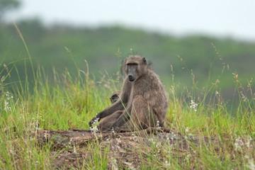 chacma baboon, papio ursinus, cape baboon