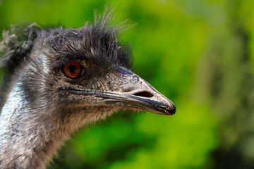 Close-up of Australian Emu (Dromaius novaehollandiae), view of an Emu's head. Photography of nature and wildlife.
