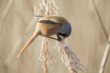 A male Bearded reedling (Panurus biarmicus) perched in the cold morning sun foraging in the reeds. perched and eating from the reeds at the water's edge.