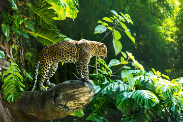 Foto auf Leinwand Panther Leopard on a branch of a large tree in the wild habitat during the day about sunlight