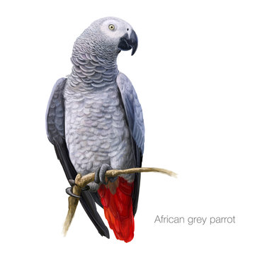 african gray parrot hand drawn vector illustration