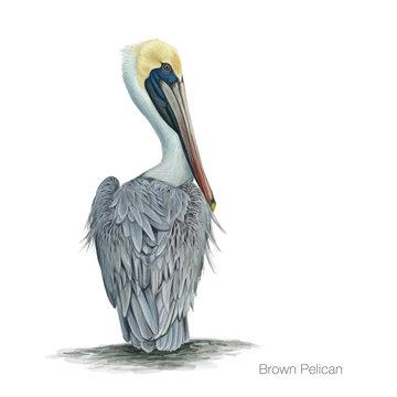 brown pelican hand drawn vector illustration