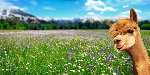 Sommer Landschaft mit Alpaka auf einer Blumenwiese und Berge im Hintergrund