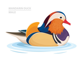Mandarin Duck swim in the water. Male. Asian Bird. Vector Illustration
