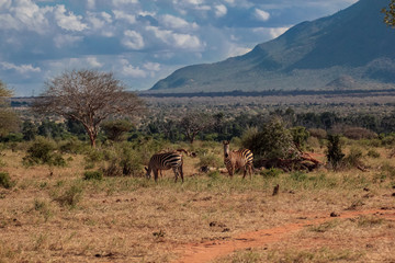 Zebre savana