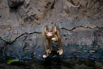 Cub monkey drinking water from pond