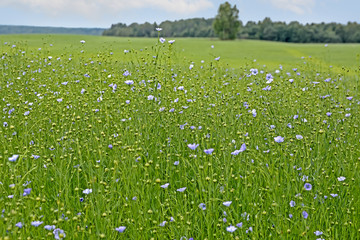 Flowers and buds of flax in the field