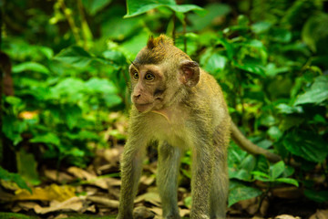 Sacred monkey family gathering in the tropical asian rain forest monsoon jungle for a visit