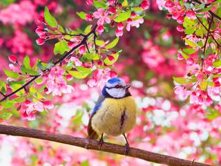 Fototapeta premium sikorka modraszka siedząca na gałęziach jabłoni w różowych kolorach w pachnącym ogrodzie majowej wiosny