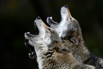 Foto auf Leinwand Wolf heulende Wölfe (Canis lupus lupus) - howling european wolves