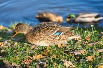 View of mallard ducks