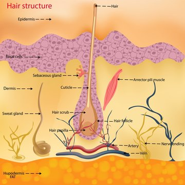 The anatomical structure of the hair on the head of a person under a microscope close-up. Vector illustration. Hair under the skin.