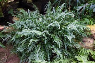 green Bush of fern. Herbaceous plant