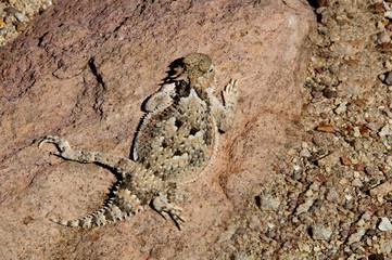 Horned lizard on Rock