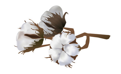 Cotton flowers isolated on white background. 3d realistic clip art for labels: cottonseed oil, extract, fabrics, wool.