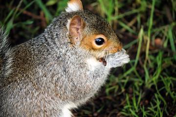 Grey UK Squirrel