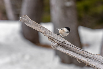 Willow tit (Poecile montanus) sits on a branch