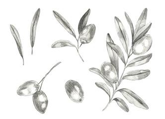 set olives sketch, olive branches