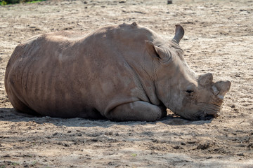 Southern White Rhinoceros lying down in the sand