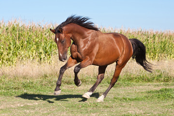 Nice brown horse running on the pasture in summer