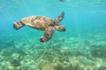 Tuinposter Onder water Green sea turtle above coral reef underwater photograph in Hawaii