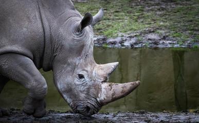 Rhino head closeup walking