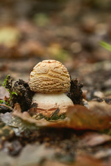 Close up of blusher mushroom on the forest