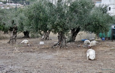 Vögel auf dem Hof mit Bäumen auf Kreta