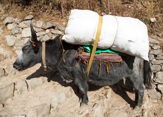 black yak - Nepal Himalayas mountains