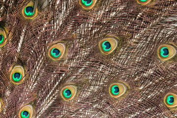 Close up background  image of peacock feathers