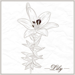 vector isolated sketch of lily flower-1