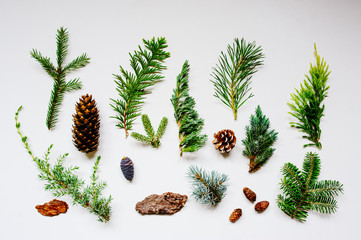 collection of various conifers and its cones on white backround. Set of juniperus, thuja, picea, abies, and pinus on white background. Botanical evergreen flat lay.