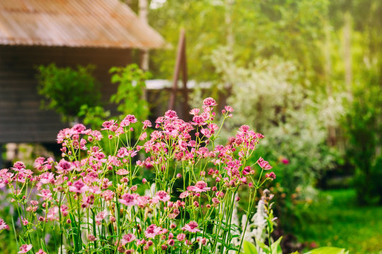 private summer cottage garden view with blooming astrantia. Decorative shrubs, conifers and perennials planted together