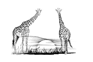 Two giraffe on sunset. Hand drawn illustration
