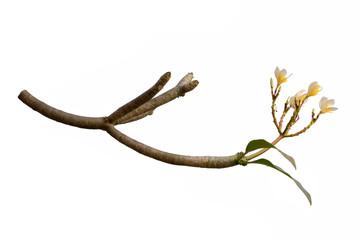 Plumeria Flower (Frangipani, Temple tree) isolated on white background.