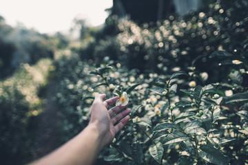 Tea Plantation Tea flower in the morning  Dark tone