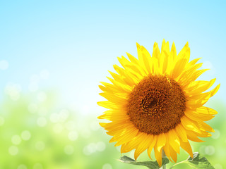 Fototapete - Sunflower on blurred sunny background