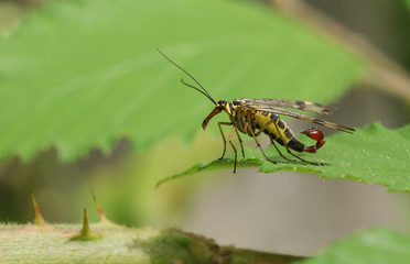 A male Scorpion Fly (Panorpa communis) perched on a leaf.