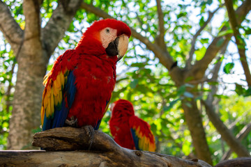 Two Scarlet Macaw (ara macao) birds standing on tree in park in Cancun, Mexico. Animals in wildlife. close up