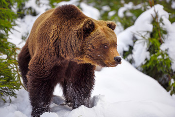 Wild brown bear (Ursus arctos) on the snow