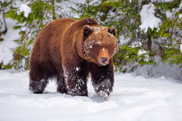 The brown bear (Ursus arctos) in its natural habitat