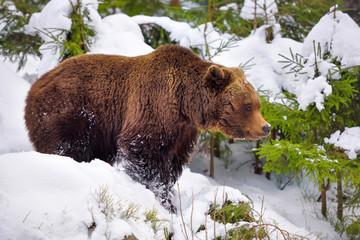 The brown bear (Ursus arctos) in its natural habitat