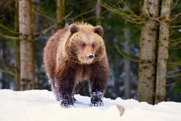 Cute little brown bear on the snow in winter forest