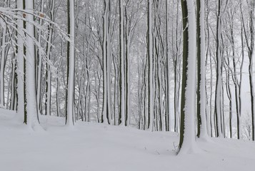 Beautiful winter landscape with beech trees. Winter in the forest.