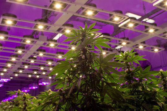 Cannabis plants fill a room in an aquaponics grow operation by licensed marijuana producer Green Relief in Flamborough