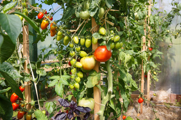 Fresh tomatoes ripening in the greenhouse