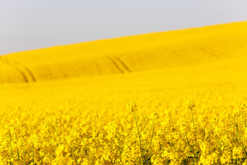 Extensive field of rapeseed